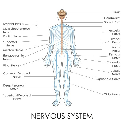 Learn About Fight Or Flight Parasympthetic Nervous System Functions