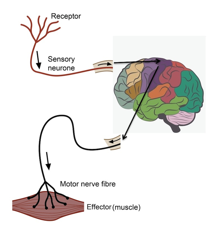 Learn About Fight or Flight, Parasympthetic Nervous System Functions ...